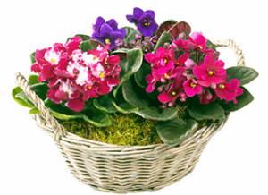 flowers-fialka-2