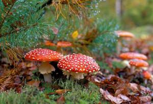 1385688337_mushroom-730x498-660x450