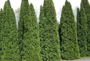 628px-Poland._Warsaw._Powsin._Botanical_Garden_097