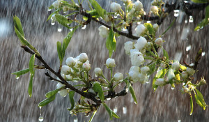 Beautiful-rainy-spring-day-trees-in-bloom_1366x768