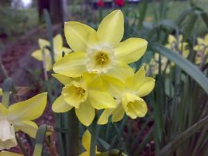Narcissus88