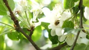 depositphotos_142894929-stock-video-white-apple-blossom-close-up