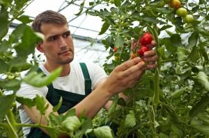 rabotnik-v-teplitsu-uhod-za-ogurtsami-i-pomidorami