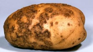 fungal_diseases_of_potato_common_scab_17-8810